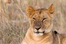 Löwe (Panthera leo) von Ralph Patzel