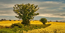 Fields of Gold von tkphotography