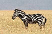 Steppenzebra (Equus quagga) by Ralph Patzel