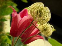 Waldrebenblüte mit Textur von misslu