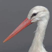 Storch (Ciconiidae) by Ralph Patzel