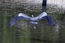 Great Blue Heron in Flight by Kathleen Stephens