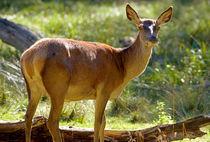 Red Deer Hind by Keld Bach