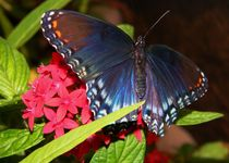Red Spotted Purple by Warren Thompson
